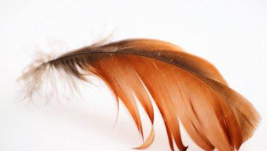 pióra białko